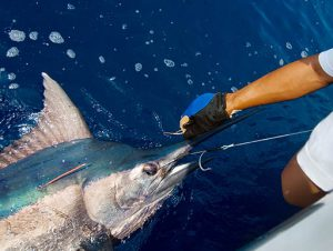 Catching a Blue Marlin while sport fishing
