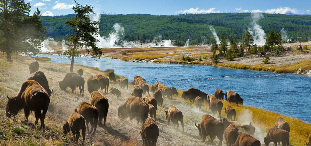 Herd of bison grazing near a river in Yellowstone National Park