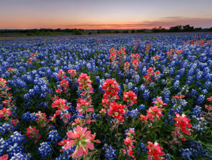 A large field of bluebonnets and pink wildflowers in Ennis Garden Club just outside of Dallas, Texas