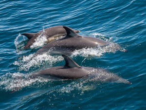 School of dolphins swimming in pristine ocean on a sunny day
