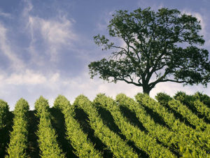 """""""A large oak tree stands behind a bright green vineyard in California"""
