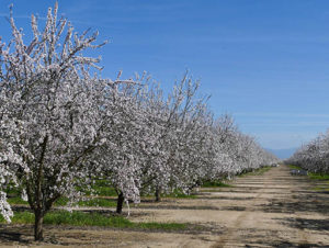 Peach trees blossom on a farm in Central Valley, California with a bright, clear blue sky in the background