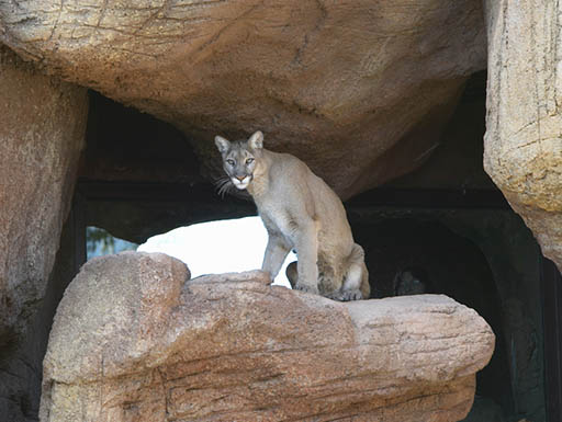 A mountain lion sitting on a rock in the Sonoran Desert in Tucson, Arizona
