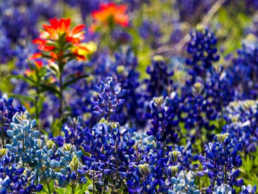 A closeup of Texas blue bonnets