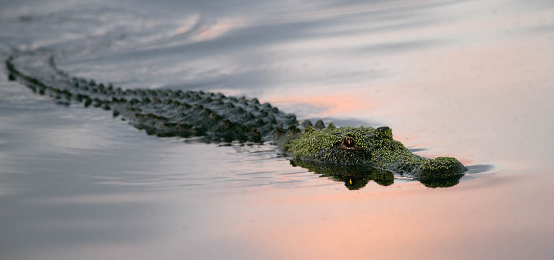 Alligator swimming in a pond in Florida at sunrise