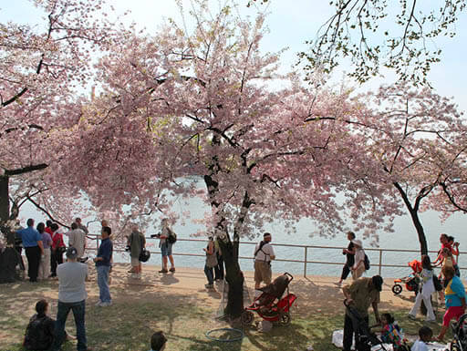 People gathered around a cherry blossom tree at the waterfront in Washington DC during daytime