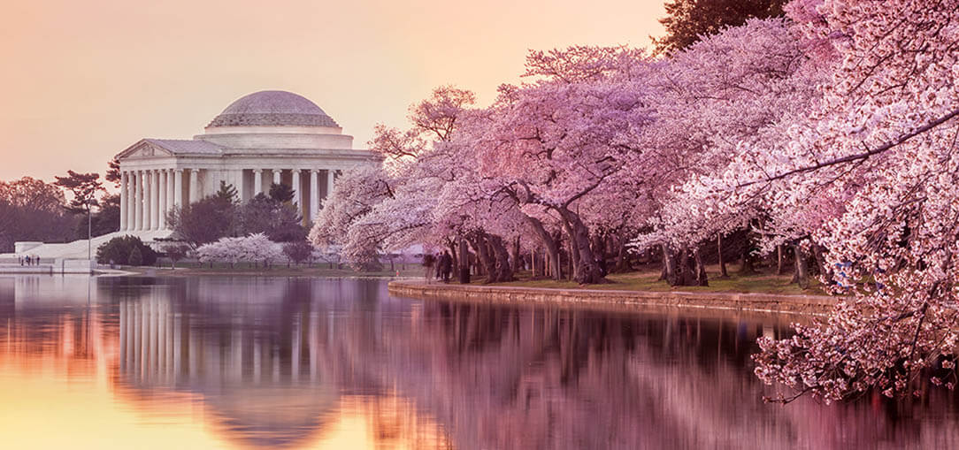 Breathtaking landscape view of the Jefferson Memorial during the DC Cherry Blossom Festival