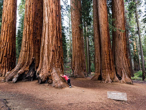 Visitors lean up against massive Sequoia trees in Sequoia National Park in California on a cloudy morning.