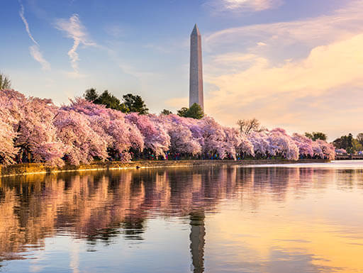 Rows of trees with pink cherry blossoms in bloom are pictured with the Washington Monument in the background in Washington, D.C., at sunset.