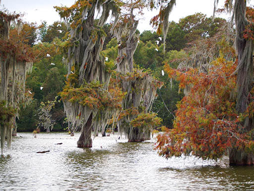 Large cypress trees sit in Lake Martin in Cypremort Point State Park waters on a cloudy autumn afternoon.