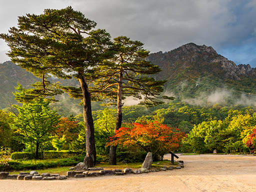 Big pair pine trees with mountains in the background in South Korea
