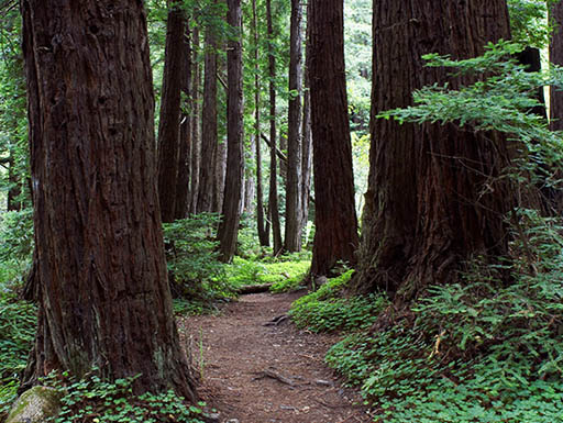 Trail through tall trees in Redwood Forest, Limekiln State Park, Big Sur, California