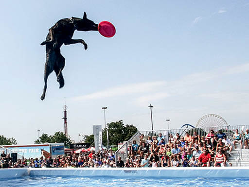 A large black dog is pictured up in the air while catching a pink Frisbee as spectators watch beneath a clear blue afternoon sky at the Kentucky State Fair in Kentucky.