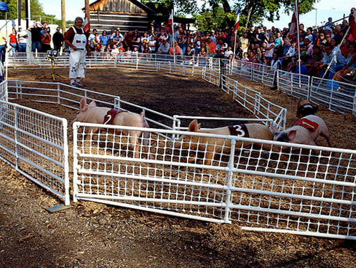 Pink pigs race through a track as spectators watch in the background at the Tennessee State Fair in Tennessee on a crowded morning.