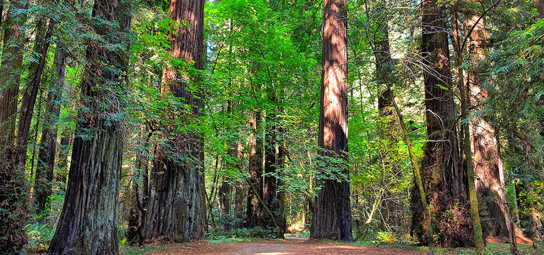 Redwood Forest along Bull Creek Flats Road in Redcrest, California