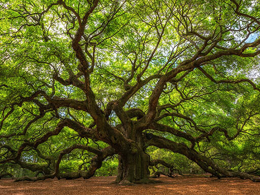 Large angel oak tree in Charleston South Carolina