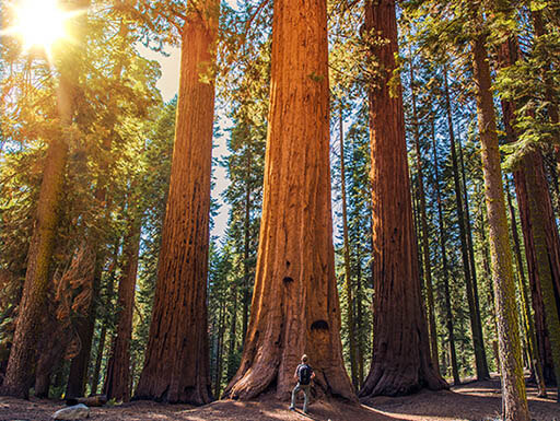 Man stands at the foot of a giant Sequoia tree while camping at Sequoia National Park in California as sun shines through forest trees