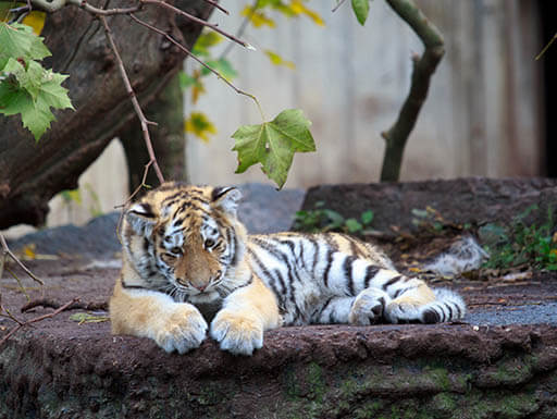 A light orange, white and black tiger cub sits on a rock with a leafy tree behind it at the Copenhagen Zoo in Copenhagen, Denmark