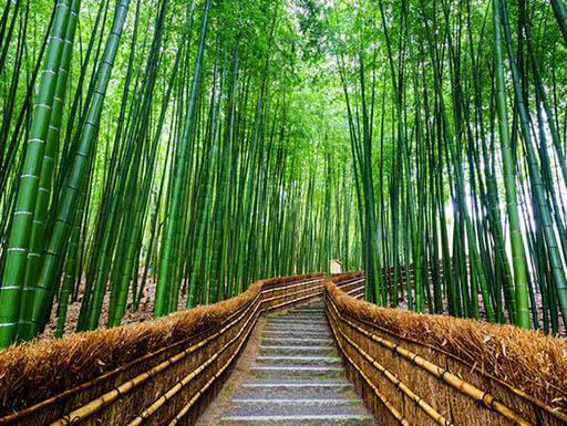 A breathtaking forest path through Arashiyama Bamboo Grove in Kyoto, Japan shows a view of the bright green bamboo stalks