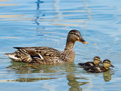 A mother mallard duck and her two ducklings swim across a man-made lake on a warm, golden evening.