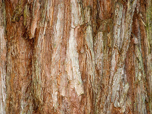 Close up view of bark on Boole Tree, the 6th largest tree in the world, found in Sequoia National Forest system in California