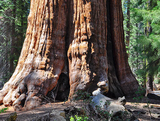 Base of General Sherman, the world's tallest sequoia tree in an area of King's Canyon and sequoia national park called giants grove