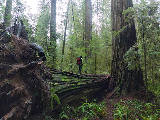 Misty view of lush greenery surrounding an uprooted tree as it lays on its side in forest of Sequoia National Park
