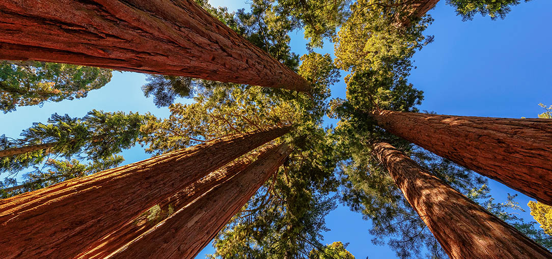 View from below, looking up at giant Sequoia trees in Sequoia National Park under blue sky