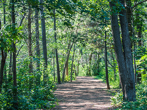 Rustic trail lined with tall, leafy green trees in a Massachusetts forest at Blue Hills Reservation in the afternoon on an early summer day.