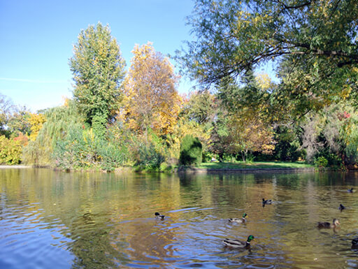 View of Bucharest's Botanical Garden with a group of mallard ducks swimming in a large pond surrounded by trees.