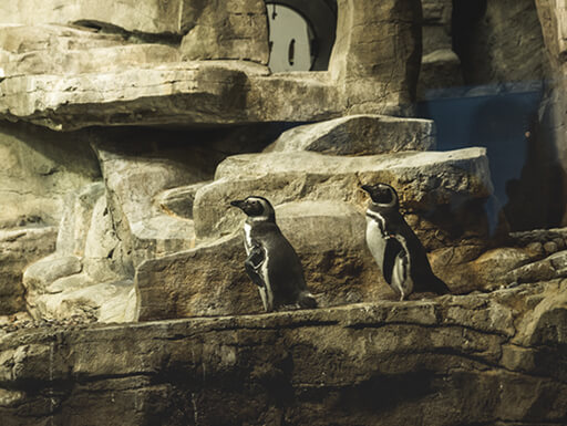 Two penguins perch on a rock ledge during the day at the Field Museum in Chicago.