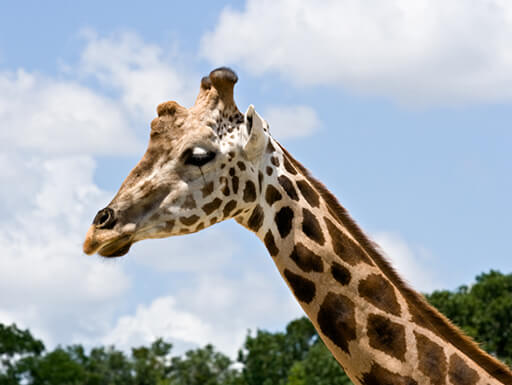 = A giraffe at ZooTampa in Lowry Park, Florida, enjoys a sunny day.