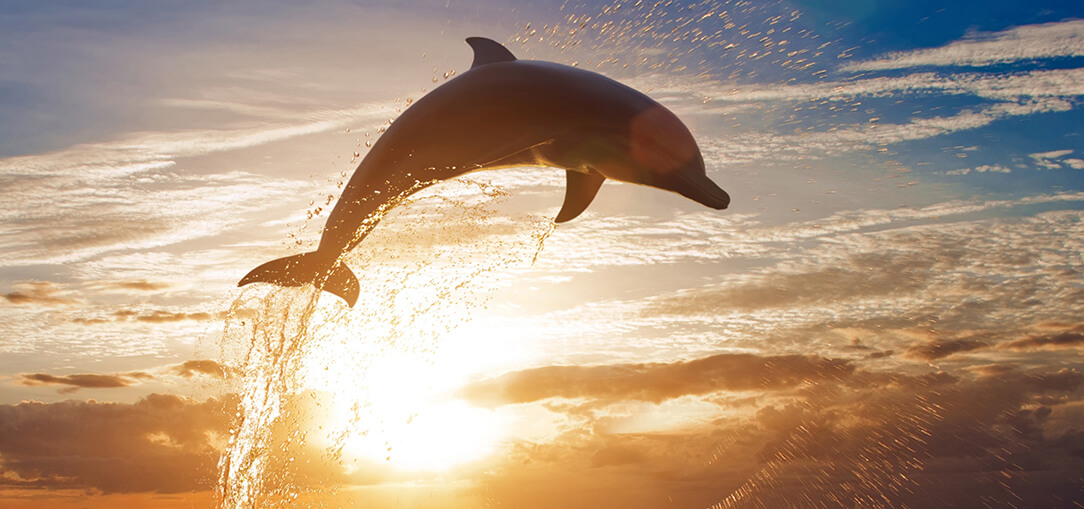 = A dolphin leaps from the ocean water in Tampa Bay at sunset