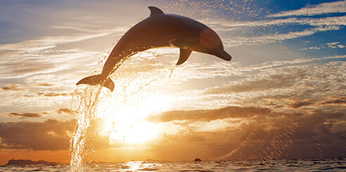 A dolphin leaps from the ocean water in Tampa Bay at sunset
