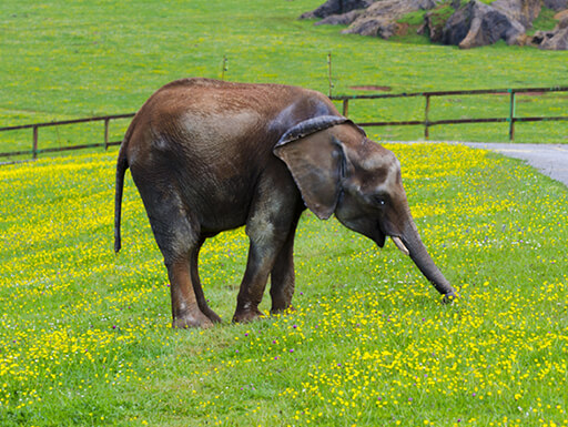 elephant eating small yellow flowers and grass at the Cabarceno Nature Park in Cabarceno, Spain