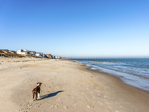 A vast sandy beach in Virginia with a border collie standing in the foreground and a clear blue sky in the background