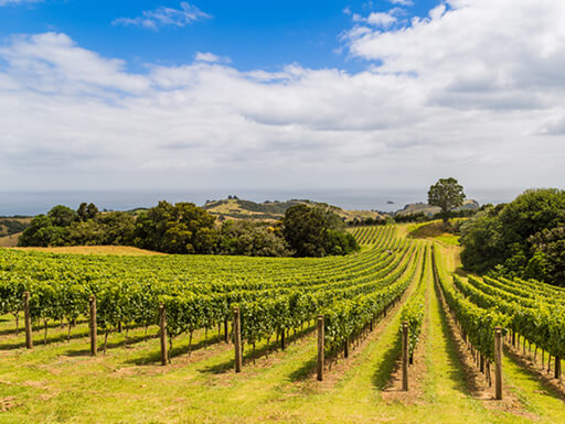 Bright green grass and rows of growing grapes are seen in a vineyard, with green, leafy bushes and a cloudy blue sky in the background in Waiheke Island, New Zealand